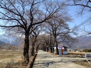 真原の桜並木