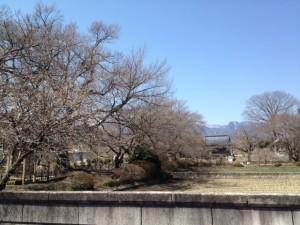 神代桜全景