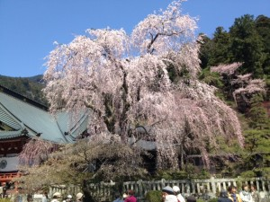 久遠寺桜その2