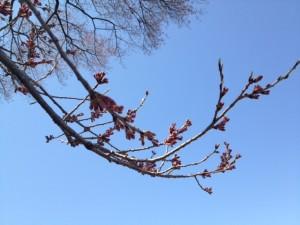 王仁塚桜その2