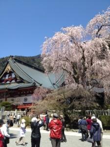 久遠寺桜その3