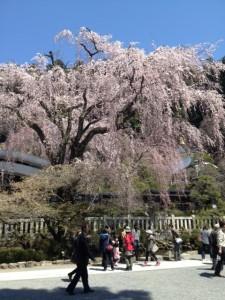 久遠寺桜その1